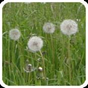 App Icon: Pollenflug
